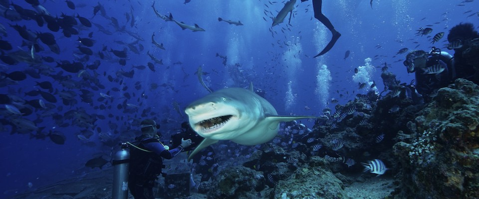 http://aquasafaris.com/wp-content/themes/Paradise/timthumb.php?src=http://aquasafaris.com/wp-content/uploads/2014/08/beqa-shark-960x400.jpg&w=80&h=50&zc=1